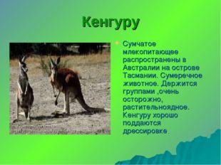 Кенгуру Сумчатое млекопитающее распространены в Австралии на острове Тасмании