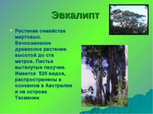 Эвкалипт Растение семейства миртовых. Вечнозеленое древесное растение высотой