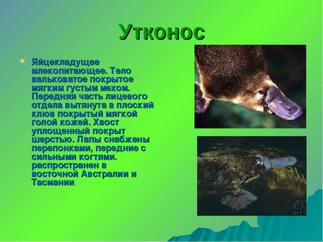 Утконос Яйцекладущее млекопитающее. Тело вальковатое покрытое мягким густым м...