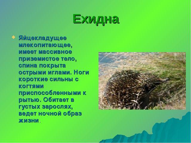 Ехидна Яйцекладущее млекопитающее, имеет массивное приземистое тело, спина по...