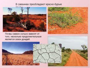В саваннах преобладают красно-бурые почвы. Почвы саваннсильно зависят от тог