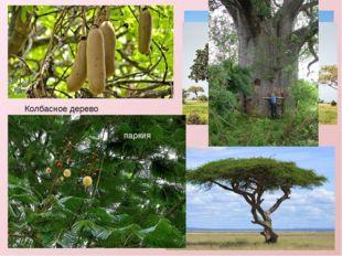 Колбасное дерево Слоновая трава. паркия