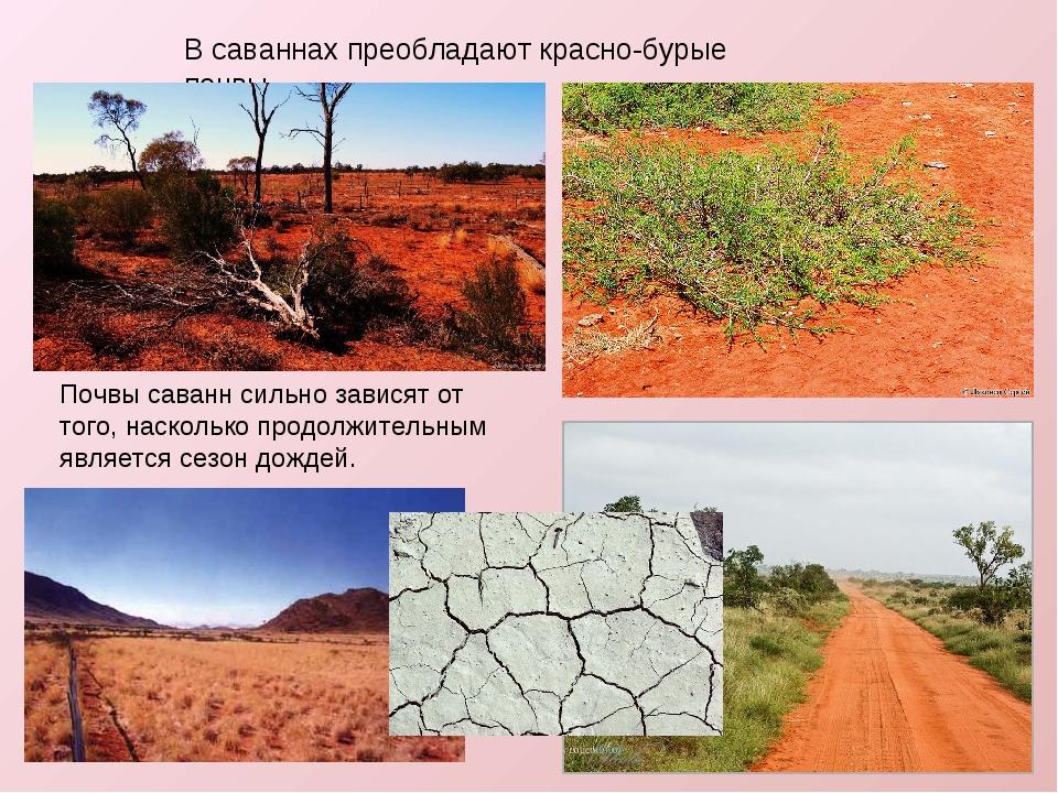 В саваннах преобладают красно-бурые почвы. Почвы саваннсильно зависят от тог...