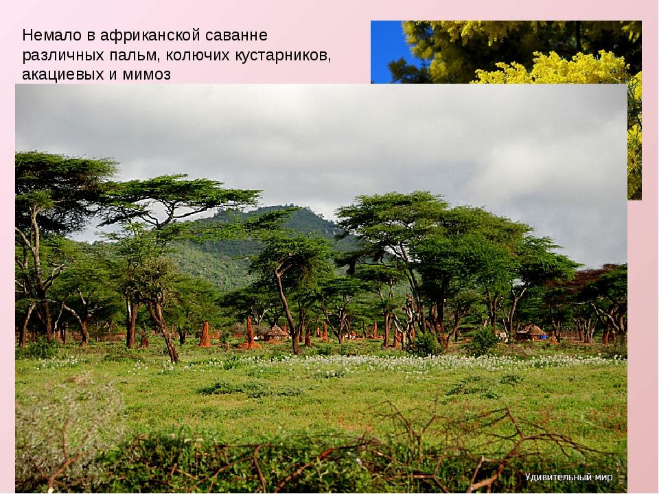 Немало в африканской саванне различных пальм, колючих кустарников, акациевых...
