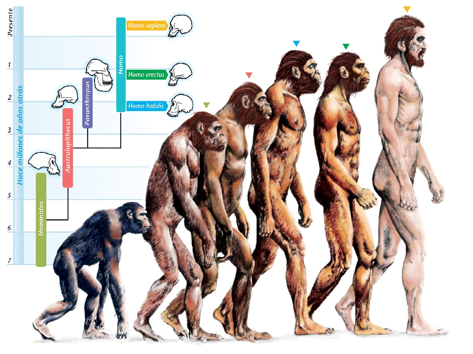 longevity in human evolution Human evolution, the process by which human beings developed on earth from now-extinct primates viewed zoologically, we humans are homo sapiens, a the primary resource for detailing the path of human evolution will always be fossil specimens certainly, the trove of fossils from africa and.