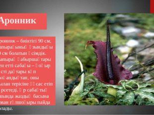Аронник Аронник – биіктігі 90 см, жапырағының ұзындығы 20 см болатын өсімдік