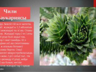 Чили араукариясы Өте ірі, биіктігі 60 м-ге жететін, діңінің жуандығы 1,5 мбо