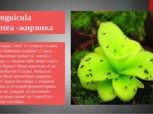 Pinguicula gigantea -жирянка Бұл өсімдік өзінің іс-әрекеті, қызмет процесі б