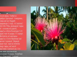 Бомбакс Мақта ағашы. Табиғи жағдайда Орталық Америка, Мексика және Кариб ара