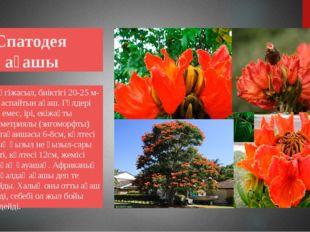 Спатодея ағашы Мәңгіжасыл, биіктігі 20-25 м-ден аспайтын ағаш. Гүлдері көп е