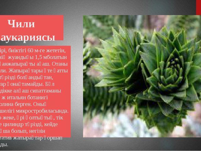 Чили араукариясы Өте ірі, биіктігі 60 м-ге жететін, діңінің жуандығы 1,5 мбо...