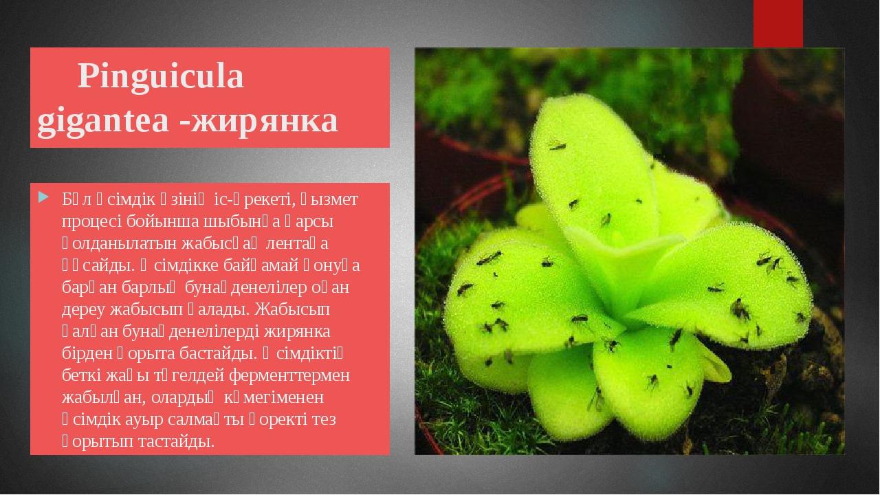 Pinguicula gigantea -жирянка Бұл өсімдік өзінің іс-әрекеті, қызмет процесі б...