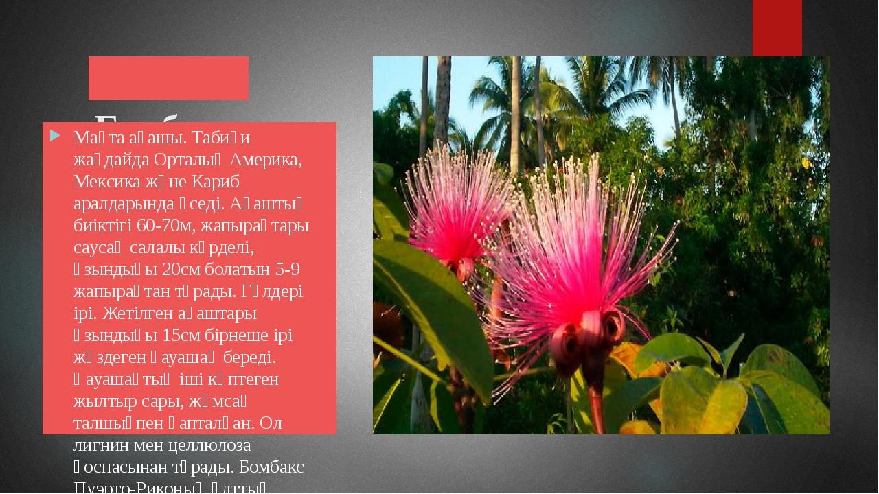 Бомбакс Мақта ағашы. Табиғи жағдайда Орталық Америка, Мексика және Кариб ара...