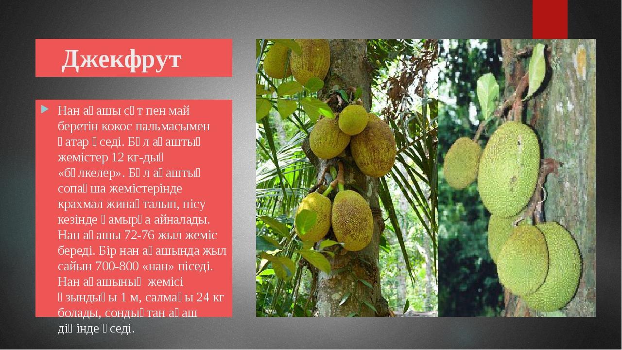 Джекфрут Нан ағашы сүт пен май беретін кокос пальмасымен қатар өседі. Бұл ағ...