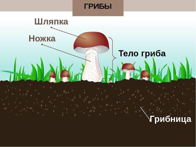 ГРИБЫ Тело гриба Шляпка Ножка Грибница