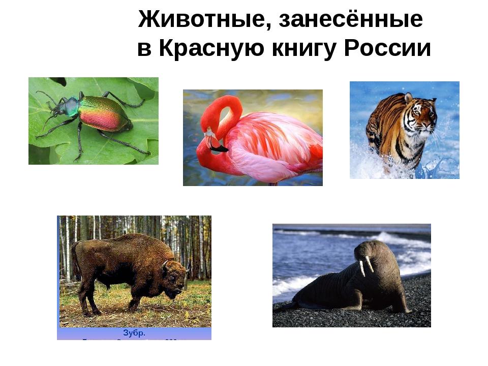 Животные, занесённые в Красную книгу России Жук-красотел морж фламинго Уссури...
