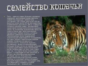 Тигр – один из самых больших наземных хищников, крупнейший представитель семе