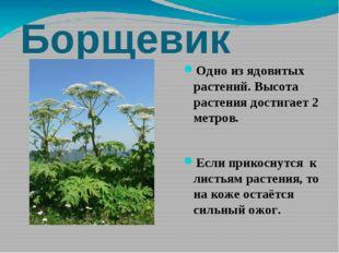 Борщевик Одно из ядовитых растений. Высота растения достигает 2 метров. Если