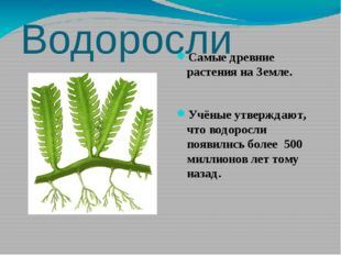 Водоросли Самые древние растения на Земле. Учёные утверждают, что водоросли п