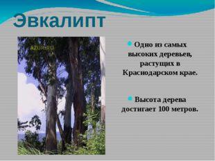 Эвкалипт Одно из самых высоких деревьев, растущих в Краснодарском крае. Высот
