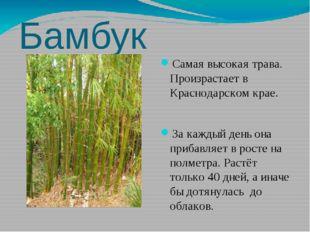 Бамбук Самая высокая трава. Произрастает в Краснодарском крае. За каждый день