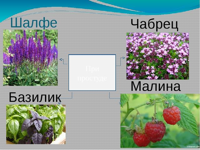 Шалфей Чабрец Базилик Малина При простуде
