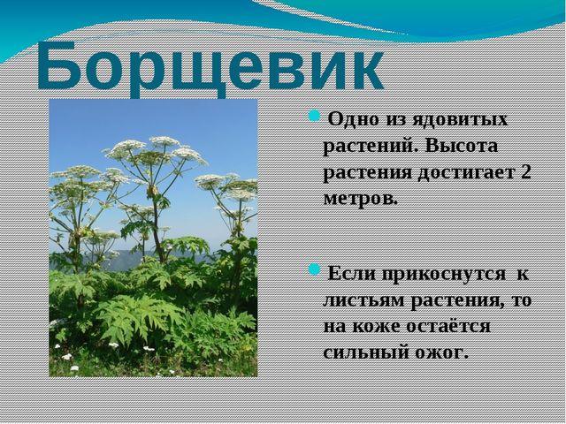 Борщевик Одно из ядовитых растений. Высота растения достигает 2 метров. Если...