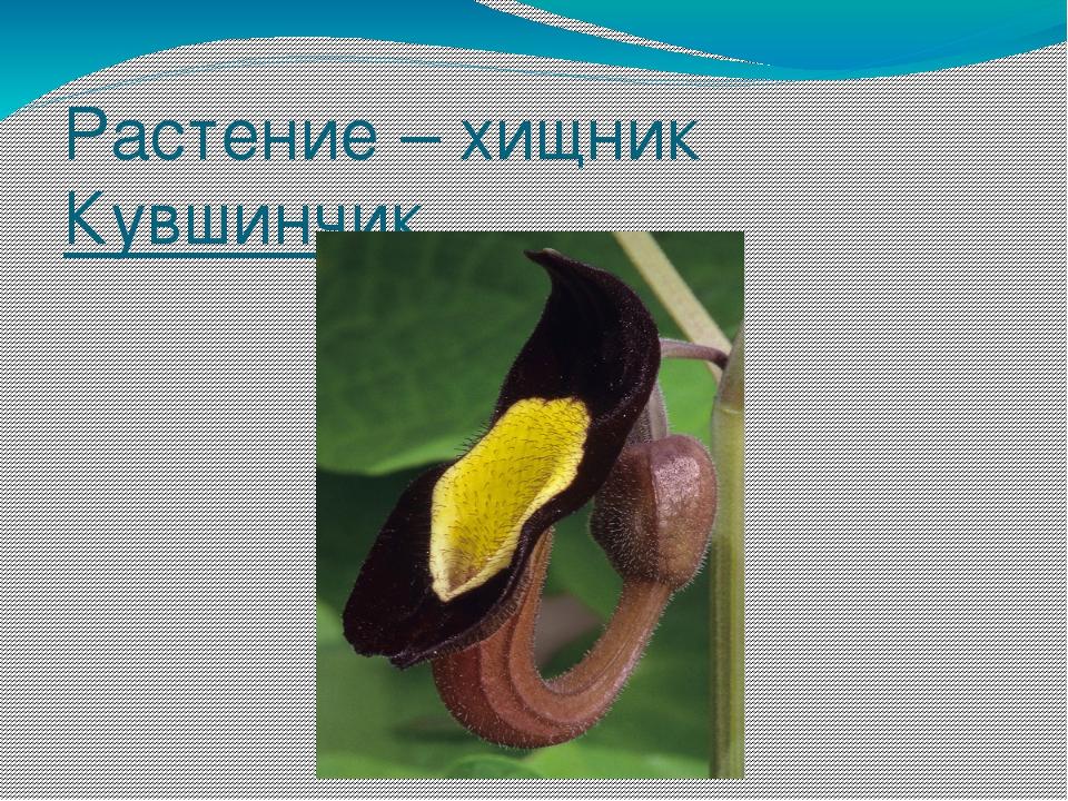 Растение – хищник Кувшинчик