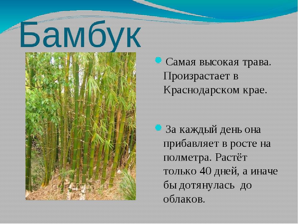 Бамбук Самая высокая трава. Произрастает в Краснодарском крае. За каждый день...