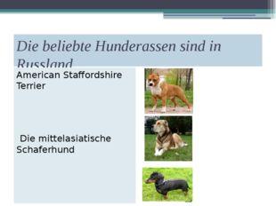 Die beliebte Hunderassen sind in Russland American Staffordshire Terrier Die