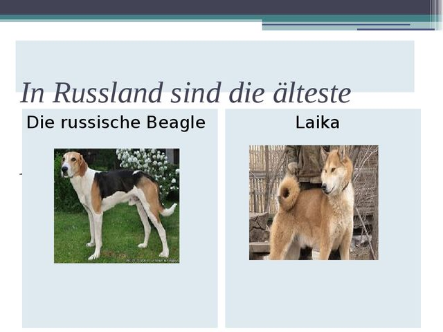 In Russland sind die älteste Hunderassen. Die russische Beagle Laika