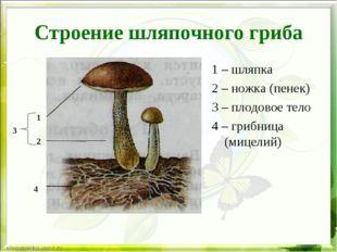 Строение шляпочного гриба 1 – шляпка 2 – ножка (пенек) 3 – плодовое тело 4 –