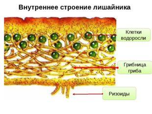 Внутреннее строение лишайника Клетки водоросли Грибница гриба Ризоиды