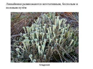Лишайники размножаются вегетативным, бесполым и половым путём Кладония