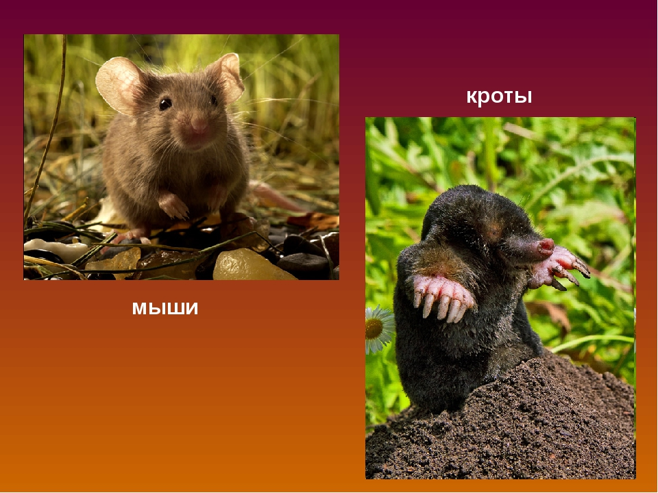 мыши кроты