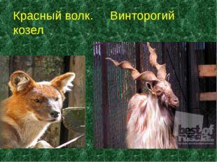 Красный волк. Винторогий козел *