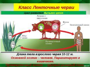 Класс Ленточные черви Цикл развития бычьего цепня Длина тела взрослого червя
