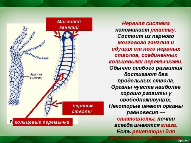 Нервная система напоминает решетку. Состоит из парного мозгового ганглия и ид...