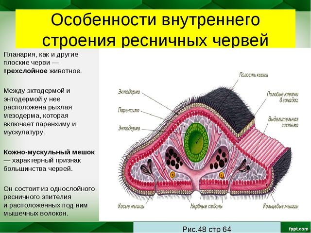 Особенности внутреннего строения ресничных червей Планария, как и другие плос...