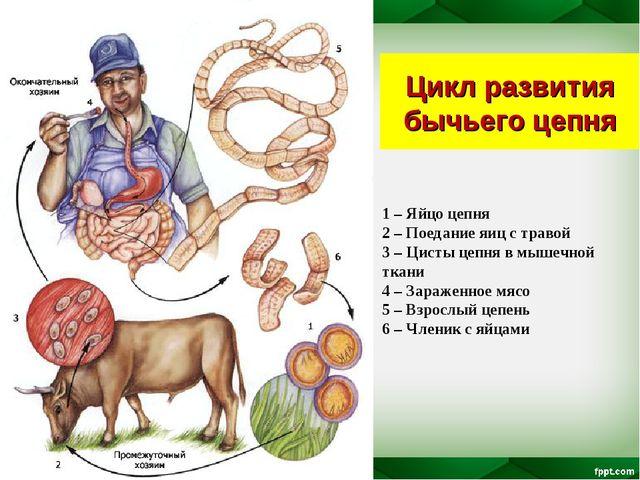 Цикл развития бычьего цепня 1 – Яйцо цепня 2 – Поедание яиц с травой 3 – Цист...