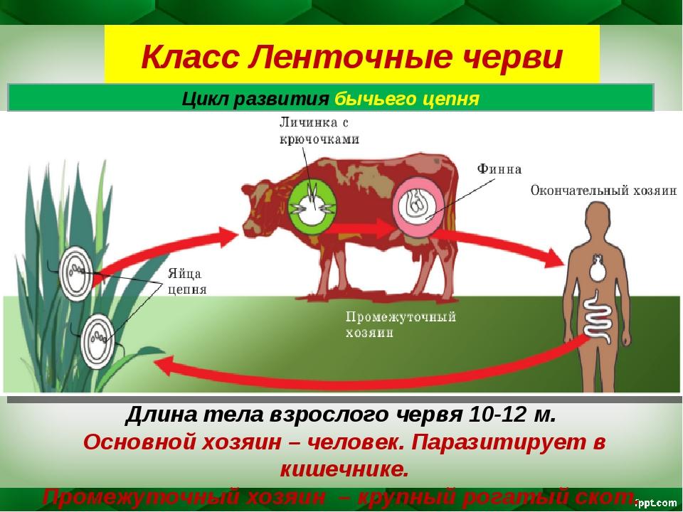 Класс Ленточные черви Цикл развития бычьего цепня Длина тела взрослого червя...