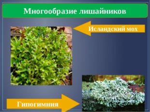 Многообразие лишайников Исландский мох Гипогимния