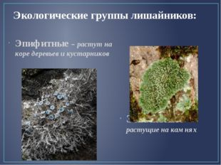 Экологические группы лишайников: Эпифитные – растут на коре деревьев и кустар