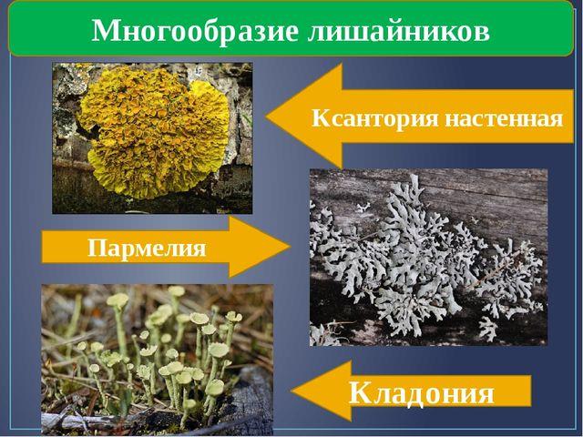 Многообразие лишайников Ксантория настенная Пармелия Кладония