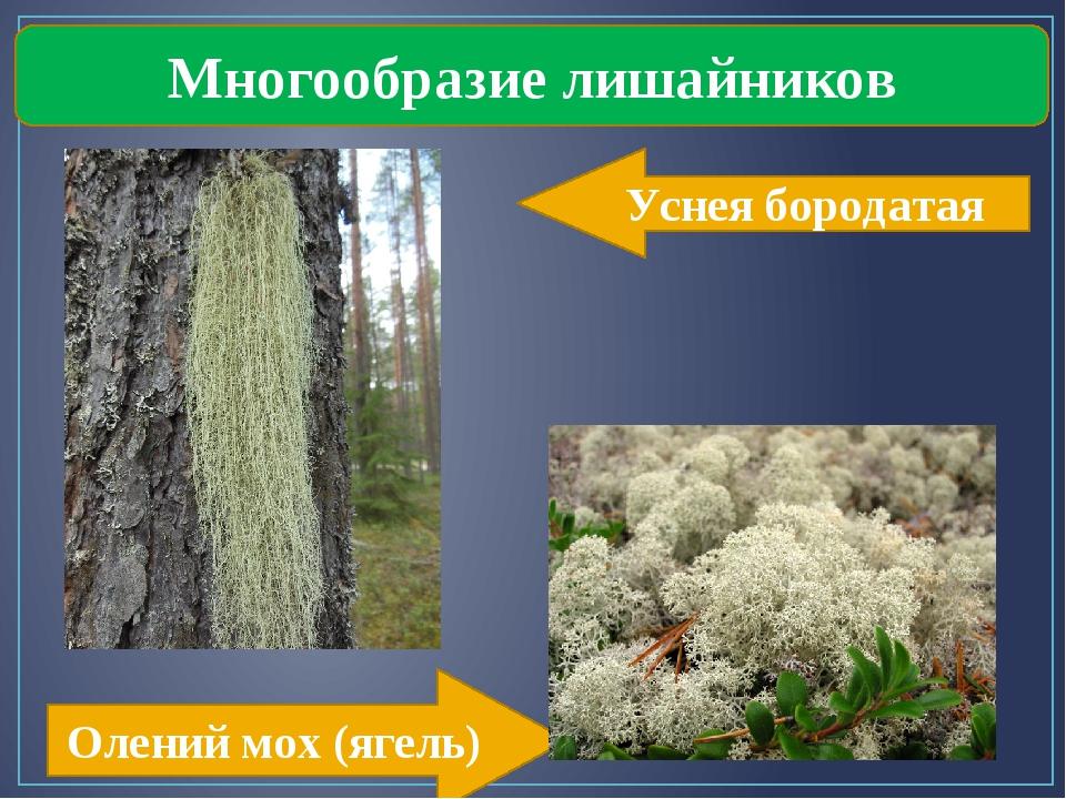 Многообразие лишайников Уснея бородатая Олений мох (ягель)