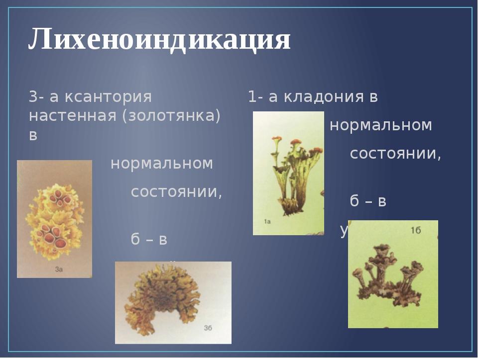 Лихеноиндикация 3- а ксантория настенная (золотянка) в нормальном состоянии,...