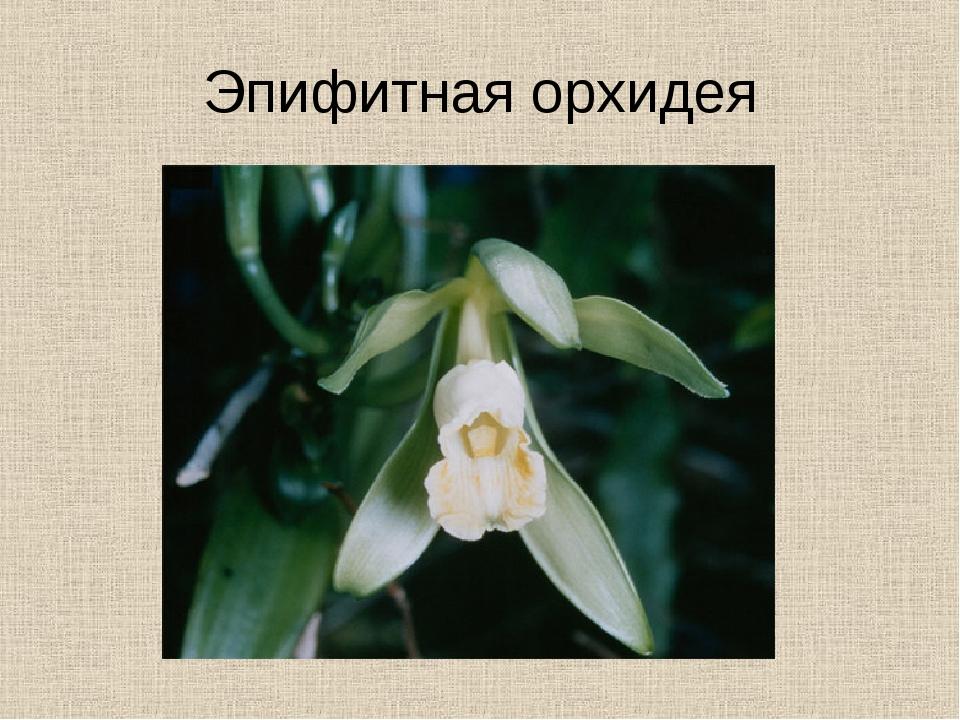 Эпифитная орхидея
