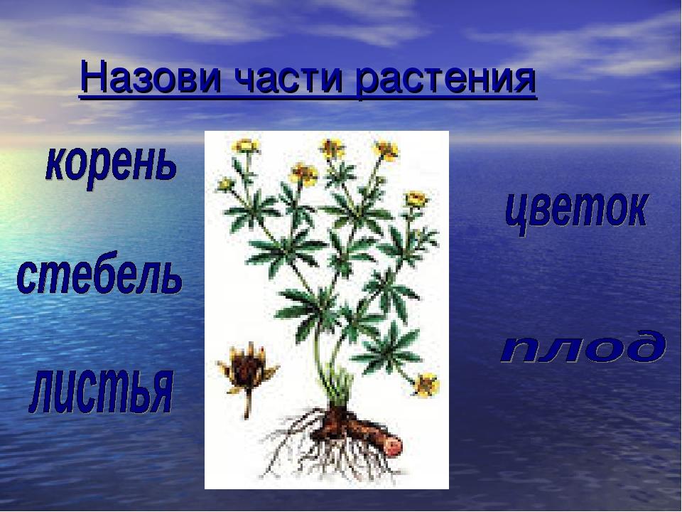 Назови части растения