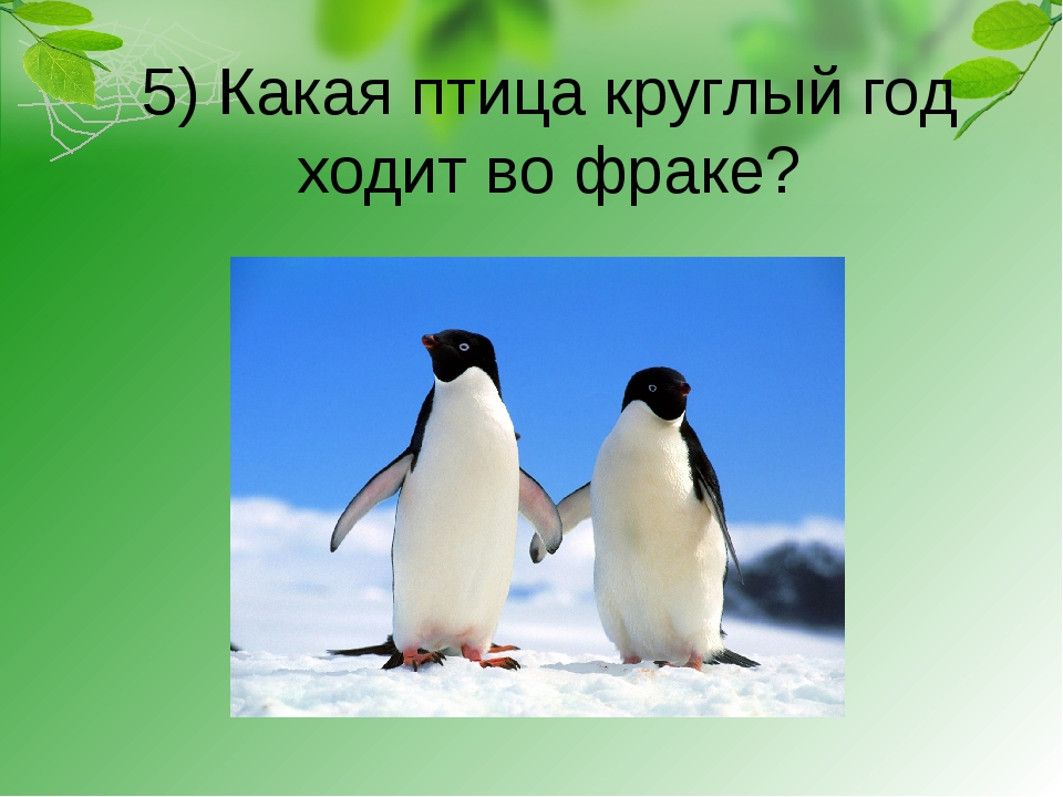 5) Какая птица круглый год ходит во фраке?