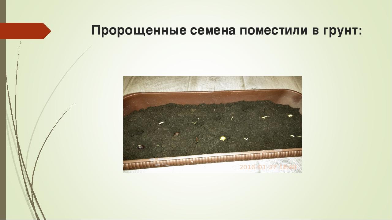 Пророщенные семена поместили в грунт: